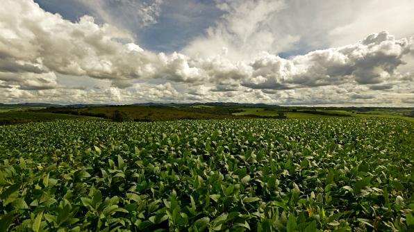 Plantação de soja não transgênica em Minas Gerais